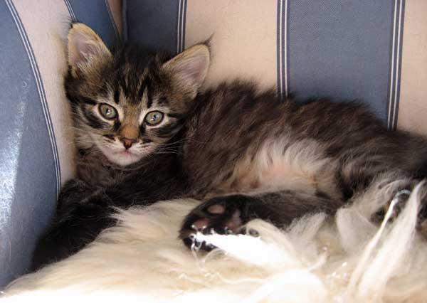 Siberian kitten Hoku at 38 days old, 20 Sept 2015