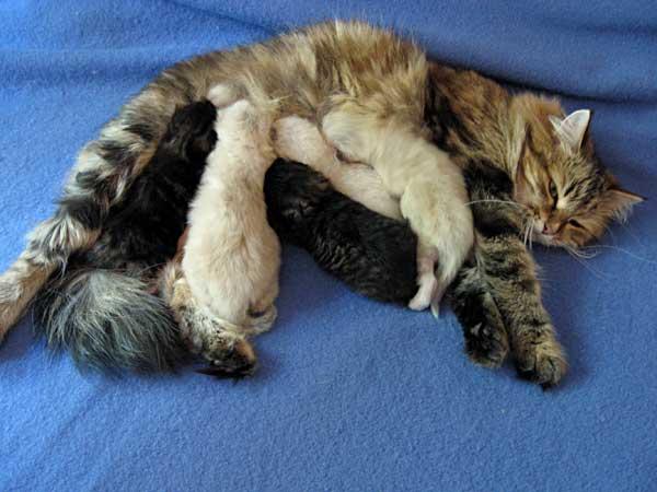 The I Litter Siberian kittens at 11 days old