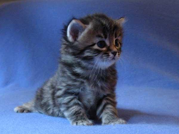 Siberian kitten Inka at 25 days old, 19 Sept 2015