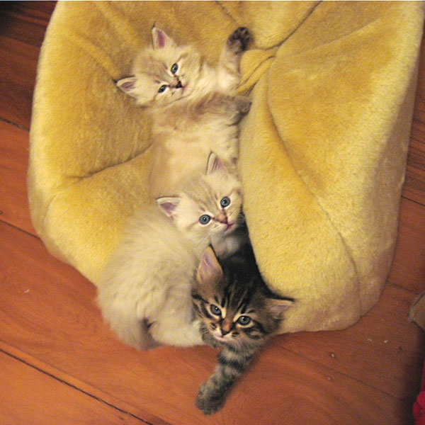 Siberian kittens playing in and on a fuzzy igloo
