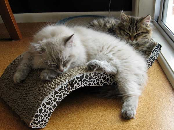 Siberian kittens Ilya and Inka at 14 weeks old, 5 Dec 2015