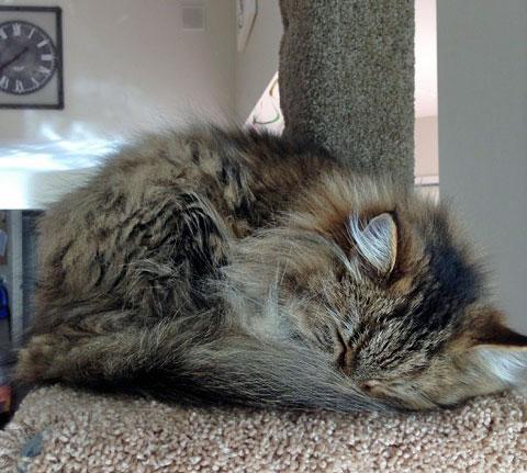 Siberian kitten Michonne on her Super Scratcher Deluxe climbing post from Seacliffe Siberians