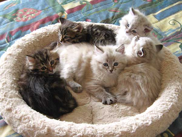 I Litter Siberian kittens at 7 weeks old, 17 Oct 2015