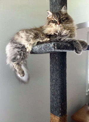 Siberian cat Georgy (ex Jonty) on his Super Scratcher Deluxe climbing post