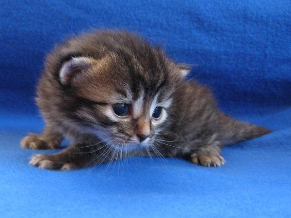 Female black/brown tabby Siberian kitten at 19 days old