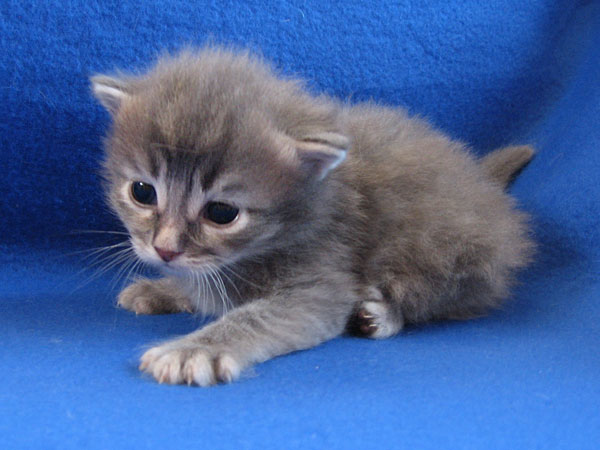Male blue tabby Siberian kitten at 19 days old