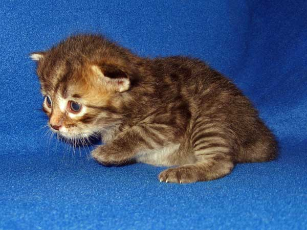 Male black/brown tabby Siberian kitten at 19 days old