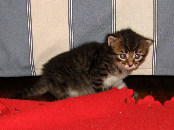 Male black/brown tabby Siberian kitten at 20 days old
