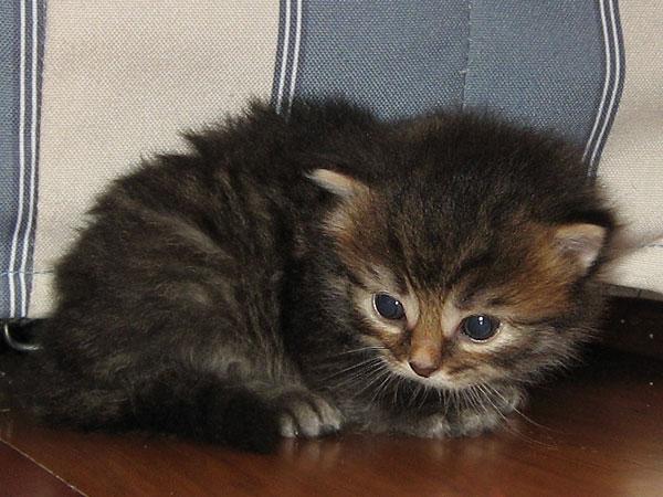 Female black/brown tabby Siberian kitten at 20 days old