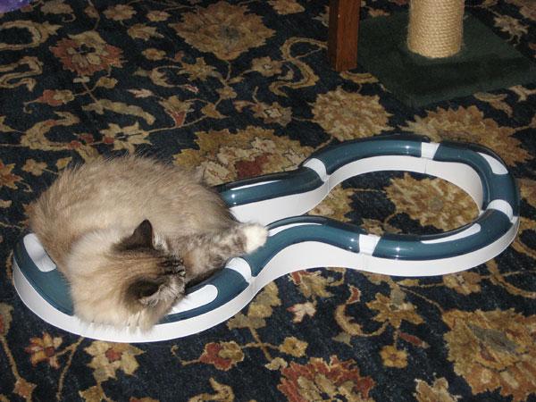 Siberian cat Mari with the Cat Super Roller Circuit