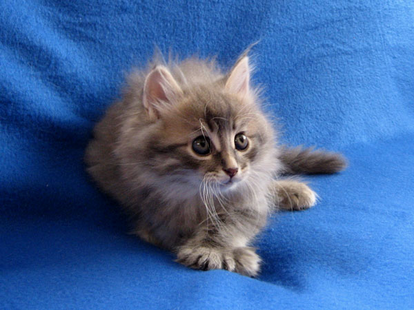 Siberian kitten Jonty at 7 weeks old