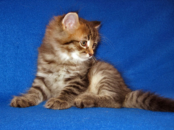 Black/brown tabby Siberian kitten Jonah at 7 weeks old