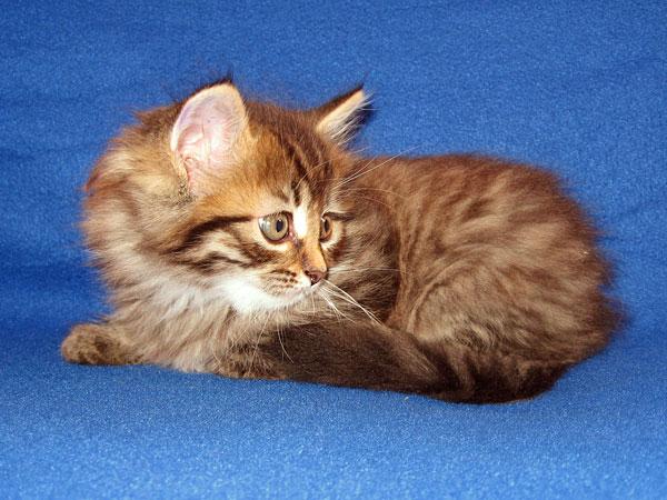 Black/brown tabby Siberian kitten Jespa at 7 weeks old