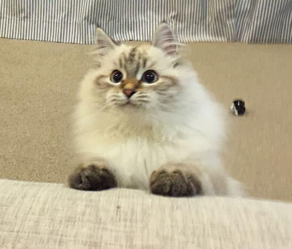 Siberian kitten Klaus at 4 months old