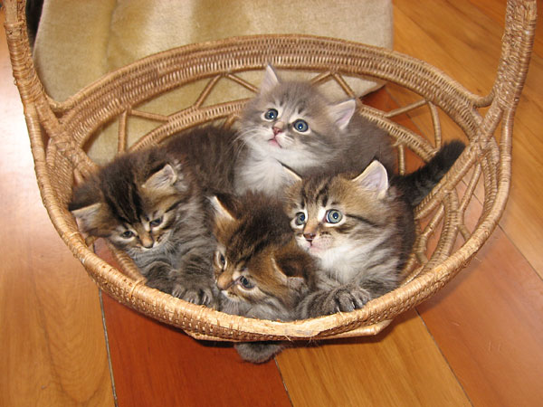 The four tabbies from the J Litter at 5 weeks old