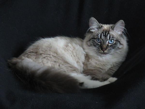 Siberian kitten Ksana at 8 months old, 1 June 2016