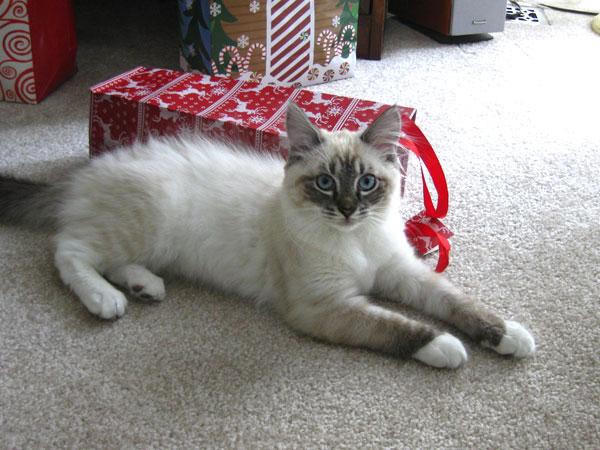 Siberian kitten Ksana at 4 months old