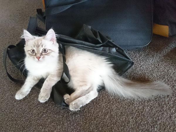 16-week-old Siberian kitten Lexi