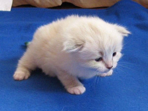 Siberian kitten Katrina at 20 days old, 20 September 2016