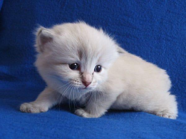 Siberian kitten Ksenia at 20 days old, 20 September 2016