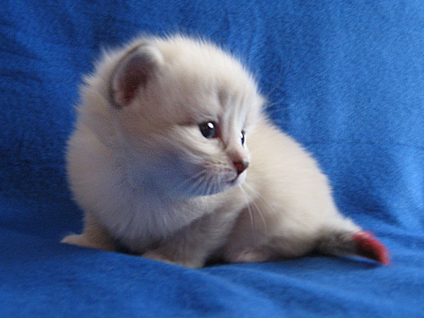 Siberian kitten Kiska at 20 days old, 20 September 2016