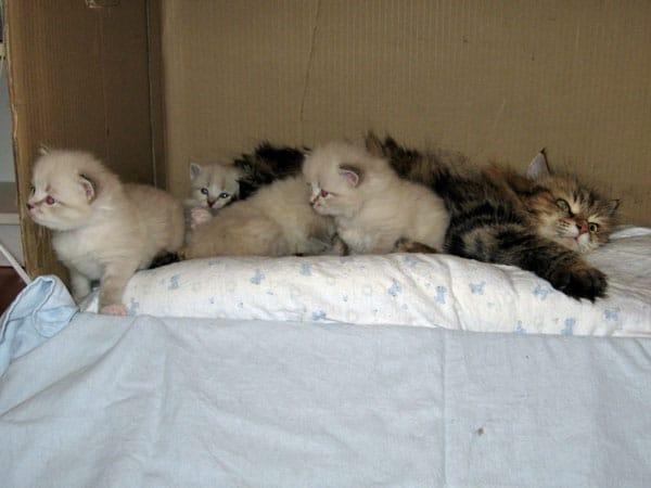 K Litter Siberian kittens