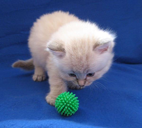 Siberian kitten Ksenia at four weeks old, 29 September 2016