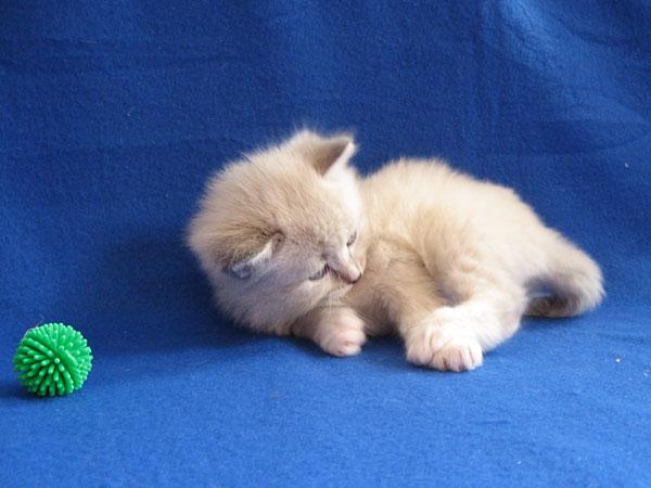 Siberian kitten Kiska at four weeks old, 29 September 2016