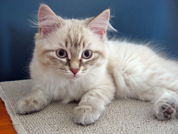 Siberian kitten Ksenia at 13 weeks old, 4 Dec 2016