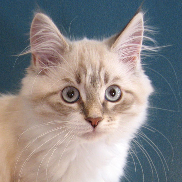Siberian kitten Katrina at 13 weeks old, 5 Dec 2016