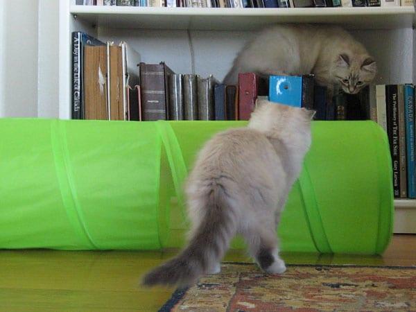 15-week-old Siberian kitten Ksenia