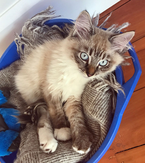 Siberian kitten Leo at 3 months old, 22 Feb 2017
