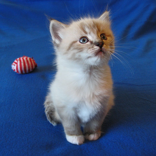 Siberian kitten Leo at 5 weeks old, 17 Dec 2016