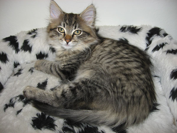 Siberian kitten Lucy at three months old