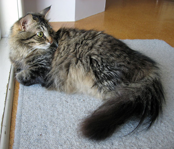 Siberian cat Hoku at 16 months old, in the final week of her first pregnancy