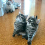 M Litter kittens at 8 weeks old, 26 Feb 2017