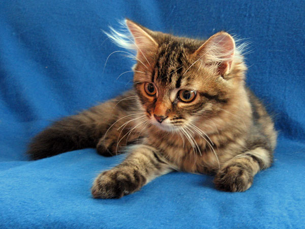 Siberian kitten Mitzi at 16 weeks old, 17 April 2017