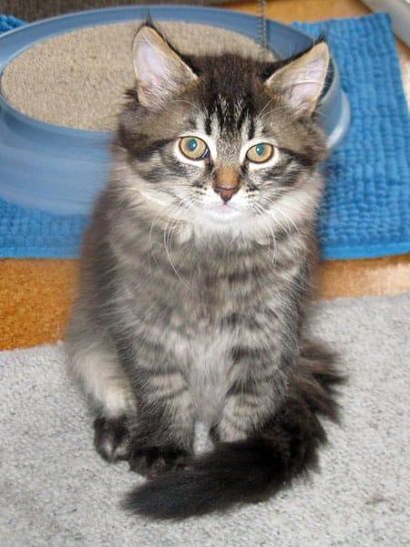 9-week-old Siberian kitten Mira