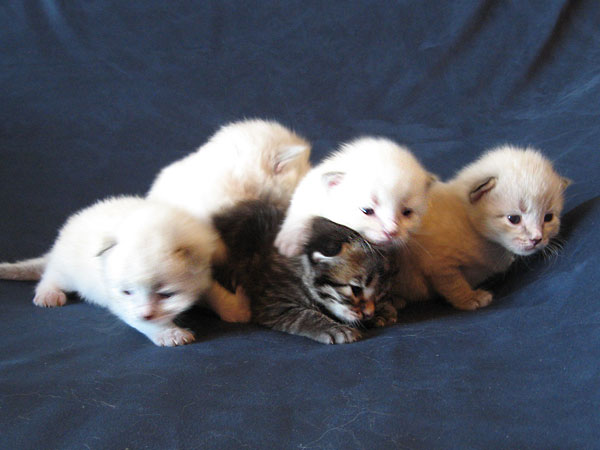 N Litter Siberian kittens at 2 weeks old, 30 Apr 2017