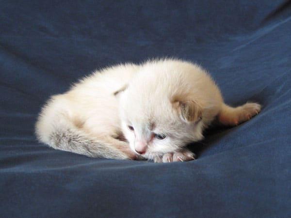 Siberian kitten Nougat at 2 weeks old, 30 Apr 2017