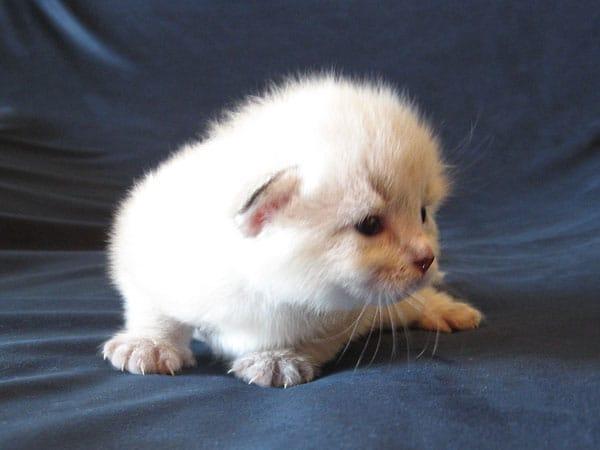 Siberian kitten Niko at 2 weeks old, 30 Apr 2017