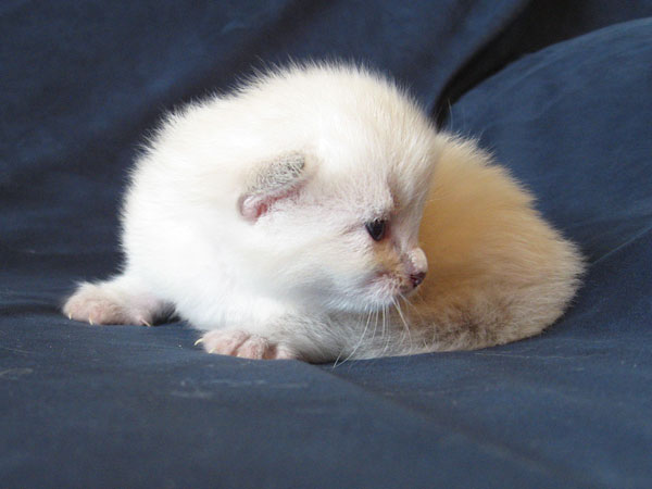 Siberian kitten Nadia at 2 weeks old, 30 Apr 2017