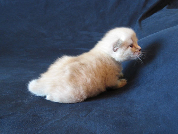 Siberian kitten Nuri at 2 weeks old, 30 Apr 2017
