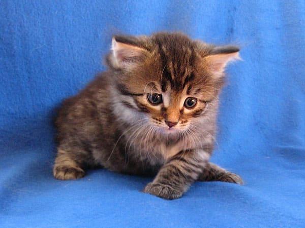 Siberian kitten Nala at 5 weeks old, 21 May 2017