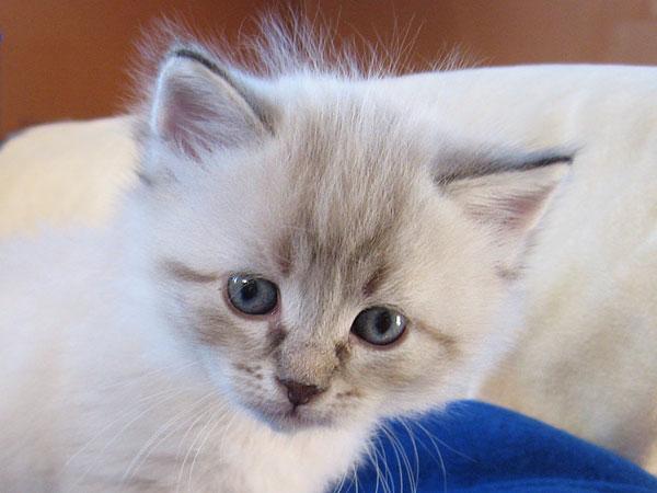 Siberian kitten Niko at 5 weeks old, 21 May 2017