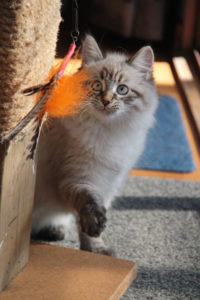Siberian kitten Nuri at 15 weeks old at her new home, 30 July 2017
