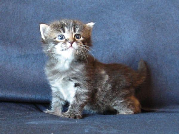 Siberian kitten Otis at 3 weeks old, 22 May 2017