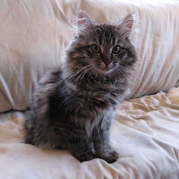 Siberian kitten Otis at 14 weeks old, 10 Aug 2017