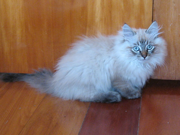 Siberian kitten Ollie at 14 wks old, 10 Aug 2017