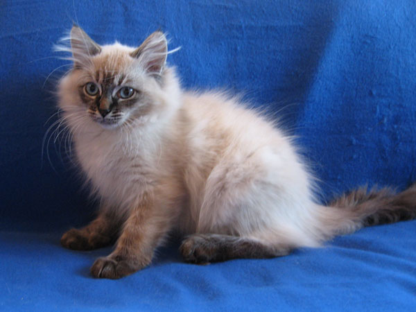 Siberian kitten Obi at 15 weeks old, 11 Aug 2017